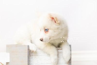 puppy123 week7 BowTiePomsky.com Bowtie Pomsky Puppy For Sale Husky Pomeranian Mini Dog Spokane WA Breeder Blue Eyes Pomskies Celebrity Puppy web5