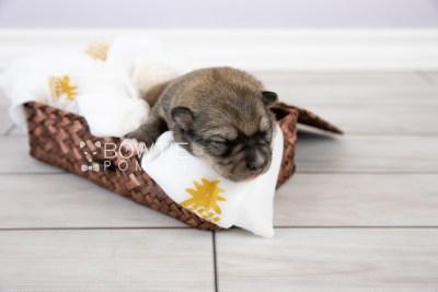 puppy124 week1 BowTiePomsky.com Bowtie Pomsky Puppy For Sale Husky Pomeranian Mini Dog Spokane WA Breeder Blue Eyes Pomskies Celebrity Puppy web-logo1
