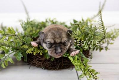 puppy124 week1 BowTiePomsky.com Bowtie Pomsky Puppy For Sale Husky Pomeranian Mini Dog Spokane WA Breeder Blue Eyes Pomskies Celebrity Puppy web-logo2