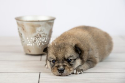 puppy124 week3 BowTiePomsky.com Bowtie Pomsky Puppy For Sale Husky Pomeranian Mini Dog Spokane WA Breeder Blue Eyes Pomskies Celebrity Puppy web-logo5