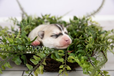puppy125 week1 BowTiePomsky.com Bowtie Pomsky Puppy For Sale Husky Pomeranian Mini Dog Spokane WA Breeder Blue Eyes Pomskies Celebrity Puppy web-logo2