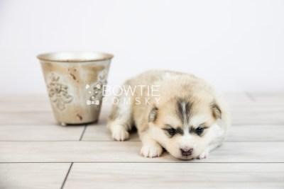 puppy125 week3 BowTiePomsky.com Bowtie Pomsky Puppy For Sale Husky Pomeranian Mini Dog Spokane WA Breeder Blue Eyes Pomskies Celebrity Puppy web-logo4