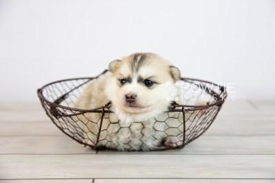 puppy125 week3 BowTiePomsky.com Bowtie Pomsky Puppy For Sale Husky Pomeranian Mini Dog Spokane WA Breeder Blue Eyes Pomskies Celebrity Puppy web-logo5