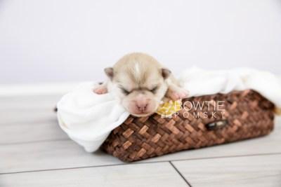 puppy126 week1 BowTiePomsky.com Bowtie Pomsky Puppy For Sale Husky Pomeranian Mini Dog Spokane WA Breeder Blue Eyes Pomskies Celebrity Puppy web-logo1