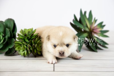 puppy126 week3 BowTiePomsky.com Bowtie Pomsky Puppy For Sale Husky Pomeranian Mini Dog Spokane WA Breeder Blue Eyes Pomskies Celebrity Puppy web-logo1