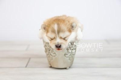 puppy127 week3 BowTiePomsky.com Bowtie Pomsky Puppy For Sale Husky Pomeranian Mini Dog Spokane WA Breeder Blue Eyes Pomskies Celebrity Puppy web-logo3