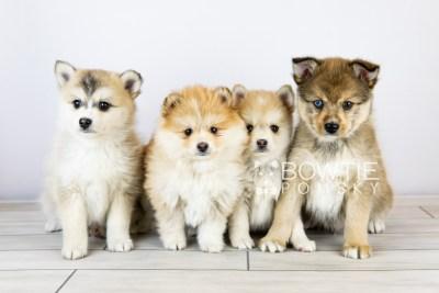puppy124-127 week5 BowTiePomsky.com Bowtie Pomsky Puppy For Sale Husky Pomeranian Mini Dog Spokane WA Breeder Blue Eyes Pomskies Celebrity Puppy web with logo