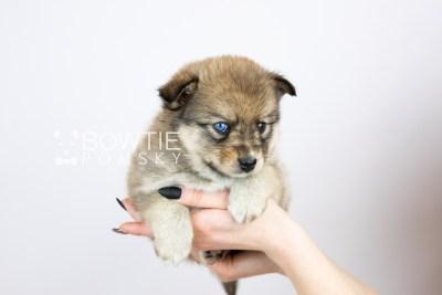 puppy124 week5 BowTiePomsky.com Bowtie Pomsky Puppy For Sale Husky Pomeranian Mini Dog Spokane WA Breeder Blue Eyes Pomskies Celebrity Puppy web with logo6