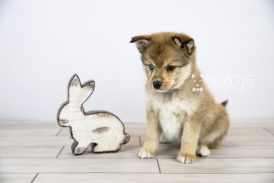 puppy124 week7 BowTiePomsky.com Bowtie Pomsky Puppy For Sale Husky Pomeranian Mini Dog Spokane WA Breeder Blue Eyes Pomskies Celebrity Puppy web with logo2