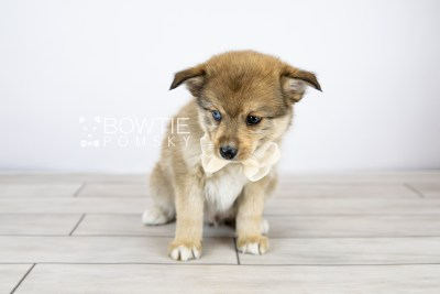 puppy124 week7 BowTiePomsky.com Bowtie Pomsky Puppy For Sale Husky Pomeranian Mini Dog Spokane WA Breeder Blue Eyes Pomskies Celebrity Puppy web with logo3