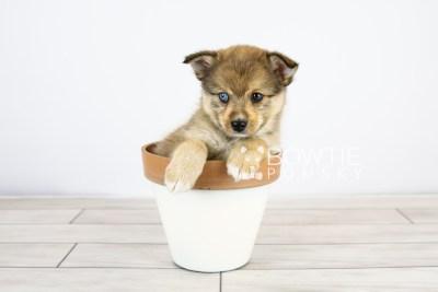 puppy124 week7 BowTiePomsky.com Bowtie Pomsky Puppy For Sale Husky Pomeranian Mini Dog Spokane WA Breeder Blue Eyes Pomskies Celebrity Puppy web with logo5