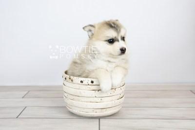 puppy125 week5 BowTiePomsky.com Bowtie Pomsky Puppy For Sale Husky Pomeranian Mini Dog Spokane WA Breeder Blue Eyes Pomskies Celebrity Puppy web with logo3