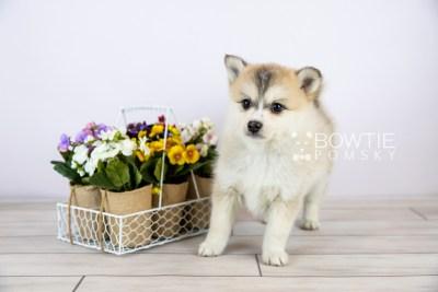puppy125 week7 BowTiePomsky.com Bowtie Pomsky Puppy For Sale Husky Pomeranian Mini Dog Spokane WA Breeder Blue Eyes Pomskies Celebrity Puppy web with logo1