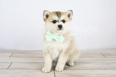 puppy125 week7 BowTiePomsky.com Bowtie Pomsky Puppy For Sale Husky Pomeranian Mini Dog Spokane WA Breeder Blue Eyes Pomskies Celebrity Puppy web with logo3