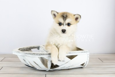 puppy125 week7 BowTiePomsky.com Bowtie Pomsky Puppy For Sale Husky Pomeranian Mini Dog Spokane WA Breeder Blue Eyes Pomskies Celebrity Puppy web with logo4