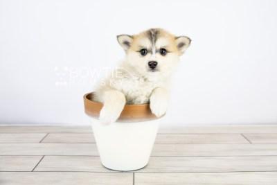 puppy125 week7 BowTiePomsky.com Bowtie Pomsky Puppy For Sale Husky Pomeranian Mini Dog Spokane WA Breeder Blue Eyes Pomskies Celebrity Puppy web with logo5