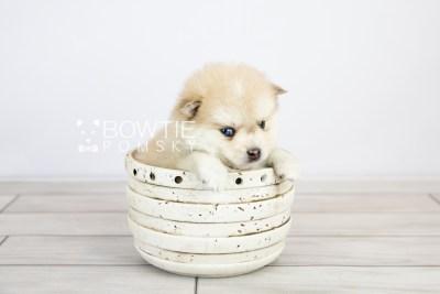 puppy126 week5 BowTiePomsky.com Bowtie Pomsky Puppy For Sale Husky Pomeranian Mini Dog Spokane WA Breeder Blue Eyes Pomskies Celebrity Puppy web with logo3