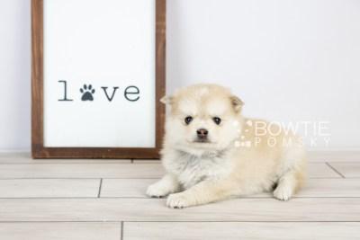 puppy126 week5 BowTiePomsky.com Bowtie Pomsky Puppy For Sale Husky Pomeranian Mini Dog Spokane WA Breeder Blue Eyes Pomskies Celebrity Puppy web with logo4