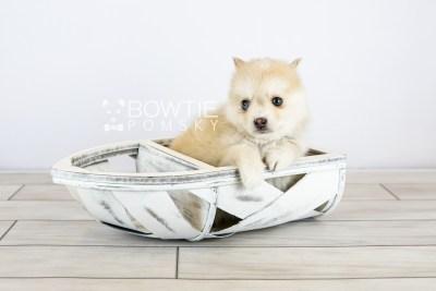 puppy126 week7 BowTiePomsky.com Bowtie Pomsky Puppy For Sale Husky Pomeranian Mini Dog Spokane WA Breeder Blue Eyes Pomskies Celebrity Puppy web with logo4