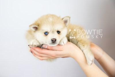 puppy126 week7 BowTiePomsky.com Bowtie Pomsky Puppy For Sale Husky Pomeranian Mini Dog Spokane WA Breeder Blue Eyes Pomskies Celebrity Puppy web with logo6