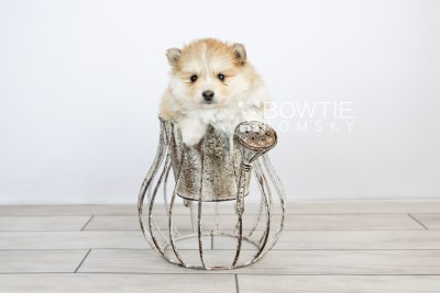 puppy127 week5 BowTiePomsky.com Bowtie Pomsky Puppy For Sale Husky Pomeranian Mini Dog Spokane WA Breeder Blue Eyes Pomskies Celebrity Puppy web with logo2