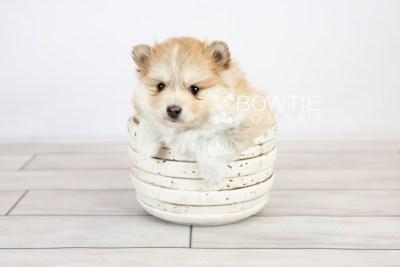 puppy127 week5 BowTiePomsky.com Bowtie Pomsky Puppy For Sale Husky Pomeranian Mini Dog Spokane WA Breeder Blue Eyes Pomskies Celebrity Puppy web with logo3