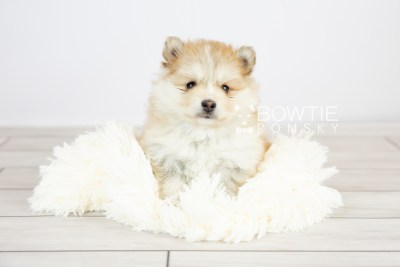 puppy127 week5 BowTiePomsky.com Bowtie Pomsky Puppy For Sale Husky Pomeranian Mini Dog Spokane WA Breeder Blue Eyes Pomskies Celebrity Puppy web with logo5