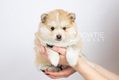 puppy127 week5 BowTiePomsky.com Bowtie Pomsky Puppy For Sale Husky Pomeranian Mini Dog Spokane WA Breeder Blue Eyes Pomskies Celebrity Puppy web with logo6
