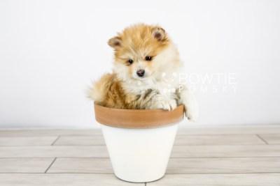 puppy127 week7 BowTiePomsky.com Bowtie Pomsky Puppy For Sale Husky Pomeranian Mini Dog Spokane WA Breeder Blue Eyes Pomskies Celebrity Puppy web with logo5