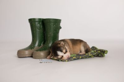 puppy128 week1 BowTiePomsky.com Bowtie Pomsky Puppy For Sale Husky Pomeranian Mini Dog Spokane WA Breeder Blue Eyes Pomskies Celebrity Puppy web-logo3