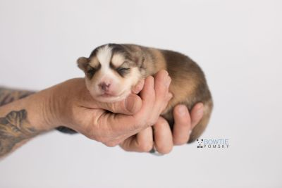 puppy128 week1 BowTiePomsky.com Bowtie Pomsky Puppy For Sale Husky Pomeranian Mini Dog Spokane WA Breeder Blue Eyes Pomskies Celebrity Puppy web-logo8