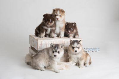 puppy128-132 week5 BowTiePomsky.com Bowtie Pomsky Puppy For Sale Husky Pomeranian Mini Dog Spokane WA Breeder Blue Eyes Pomskies Celebrity Puppy web-logo1