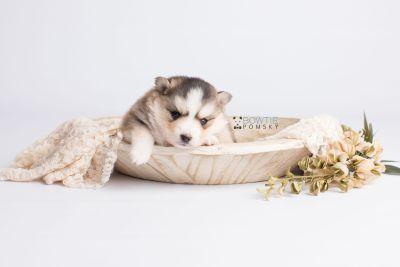 puppy128 week3 BowTiePomsky.com Bowtie Pomsky Puppy For Sale Husky Pomeranian Mini Dog Spokane WA Breeder Blue Eyes Pomskies Celebrity Puppy web4