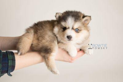 puppy128 week5 BowTiePomsky.com Bowtie Pomsky Puppy For Sale Husky Pomeranian Mini Dog Spokane WA Breeder Blue Eyes Pomskies Celebrity Puppy web-logo1