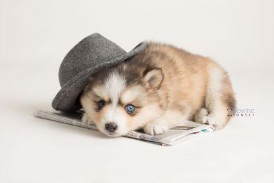 puppy128 week5 BowTiePomsky.com Bowtie Pomsky Puppy For Sale Husky Pomeranian Mini Dog Spokane WA Breeder Blue Eyes Pomskies Celebrity Puppy web-logo4