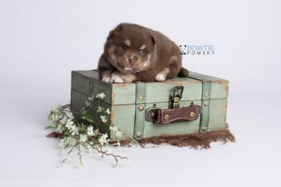 puppy129 week3 BowTiePomsky.com Bowtie Pomsky Puppy For Sale Husky Pomeranian Mini Dog Spokane WA Breeder Blue Eyes Pomskies Celebrity Puppy web2
