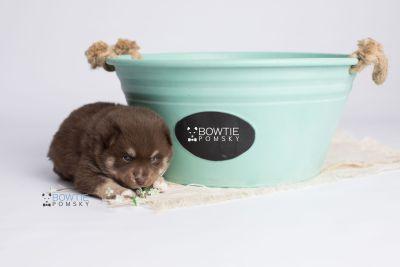 puppy129 week3 BowTiePomsky.com Bowtie Pomsky Puppy For Sale Husky Pomeranian Mini Dog Spokane WA Breeder Blue Eyes Pomskies Celebrity Puppy web4