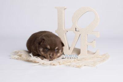 puppy129 week3 BowTiePomsky.com Bowtie Pomsky Puppy For Sale Husky Pomeranian Mini Dog Spokane WA Breeder Blue Eyes Pomskies Celebrity Puppy web5