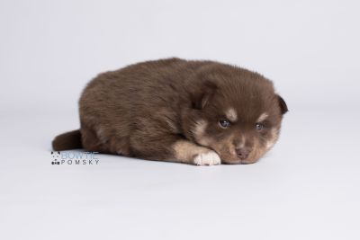 puppy129 week3 BowTiePomsky.com Bowtie Pomsky Puppy For Sale Husky Pomeranian Mini Dog Spokane WA Breeder Blue Eyes Pomskies Celebrity Puppy web6