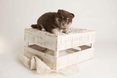 puppy129 week5 BowTiePomsky.com Bowtie Pomsky Puppy For Sale Husky Pomeranian Mini Dog Spokane WA Breeder Blue Eyes Pomskies Celebrity Puppy web-logo1