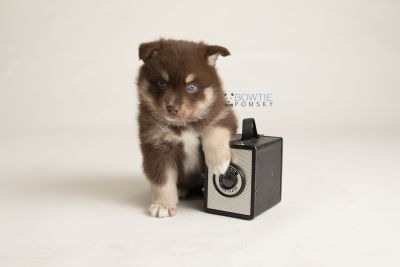 puppy129 week5 BowTiePomsky.com Bowtie Pomsky Puppy For Sale Husky Pomeranian Mini Dog Spokane WA Breeder Blue Eyes Pomskies Celebrity Puppy web-logo4