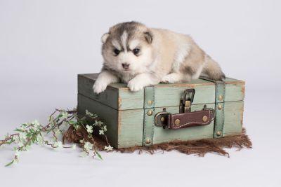 puppy130 week3 BowTiePomsky.com Bowtie Pomsky Puppy For Sale Husky Pomeranian Mini Dog Spokane WA Breeder Blue Eyes Pomskies Celebrity Puppy web2