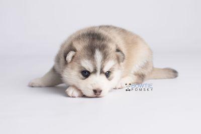 puppy130 week3 BowTiePomsky.com Bowtie Pomsky Puppy For Sale Husky Pomeranian Mini Dog Spokane WA Breeder Blue Eyes Pomskies Celebrity Puppy web6