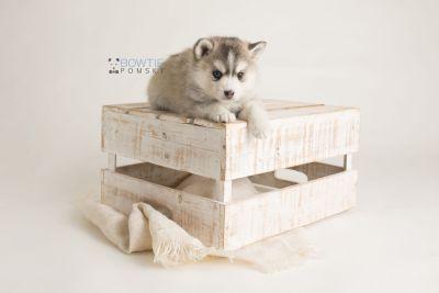 puppy130 week5 BowTiePomsky.com Bowtie Pomsky Puppy For Sale Husky Pomeranian Mini Dog Spokane WA Breeder Blue Eyes Pomskies Celebrity Puppy web-logo1
