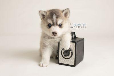 puppy130 week5 BowTiePomsky.com Bowtie Pomsky Puppy For Sale Husky Pomeranian Mini Dog Spokane WA Breeder Blue Eyes Pomskies Celebrity Puppy web-logo4