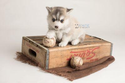 puppy130 week5 BowTiePomsky.com Bowtie Pomsky Puppy For Sale Husky Pomeranian Mini Dog Spokane WA Breeder Blue Eyes Pomskies Celebrity Puppy web-logo6