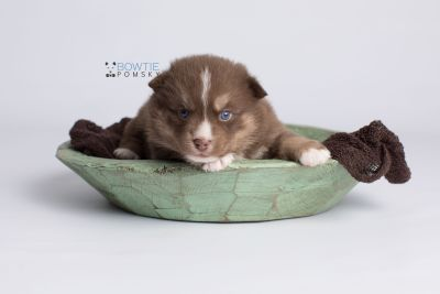 puppy131 week3 BowTiePomsky.com Bowtie Pomsky Puppy For Sale Husky Pomeranian Mini Dog Spokane WA Breeder Blue Eyes Pomskies Celebrity Puppy web3