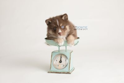 puppy131 week5 BowTiePomsky.com Bowtie Pomsky Puppy For Sale Husky Pomeranian Mini Dog Spokane WA Breeder Blue Eyes Pomskies Celebrity Puppy web-logo2