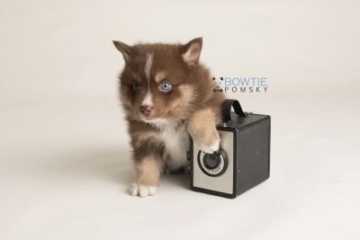 puppy131 week5 BowTiePomsky.com Bowtie Pomsky Puppy For Sale Husky Pomeranian Mini Dog Spokane WA Breeder Blue Eyes Pomskies Celebrity Puppy web-logo4
