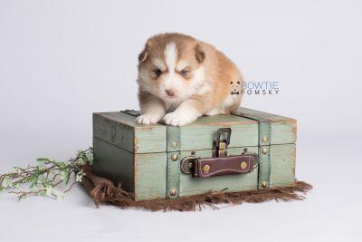 puppy132 week3 BowTiePomsky.com Bowtie Pomsky Puppy For Sale Husky Pomeranian Mini Dog Spokane WA Breeder Blue Eyes Pomskies Celebrity Puppy web2